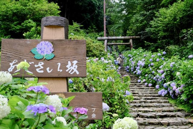 【栃木市】太平山のあじさいがまもなく見頃のようです!